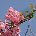 Photos: 海棠咲きて