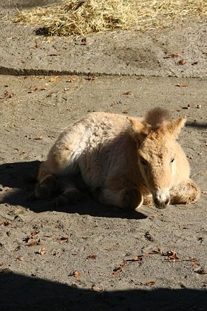 多摩動物公園111225-モウコノウマ ハーン-01