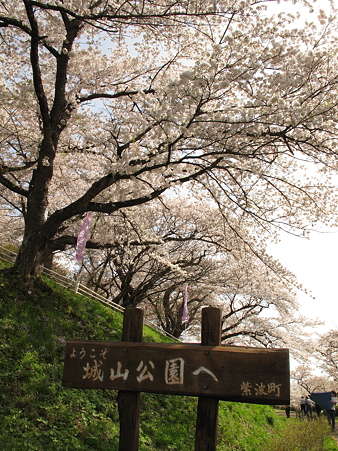 城山公園の桜・1