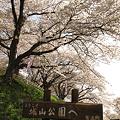 Photos: 城山公園の桜・1