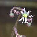 写真: ホシザキユキノシタの花 2012-2