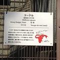 写真: 東山動植物園_11:ラーテル