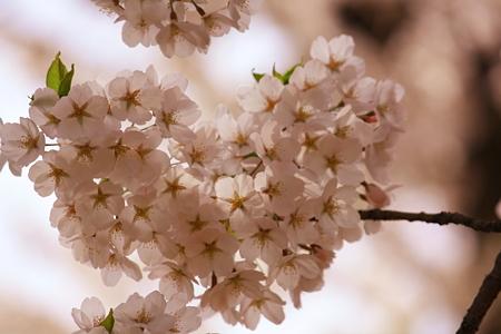 ハートの桜みっけ。