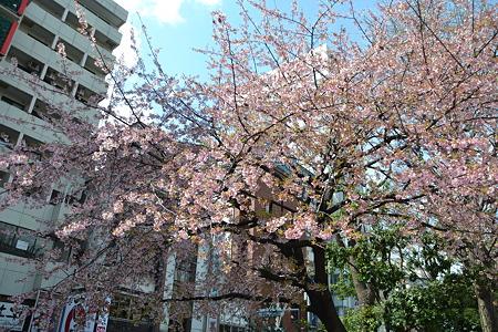 桜??@上野公園[4/4]