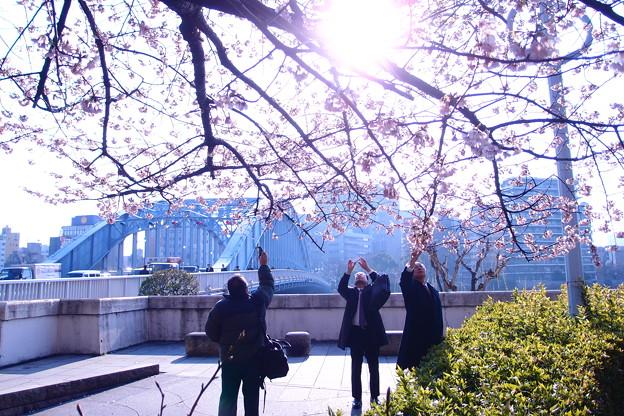 Photos: 永代橋の大寒桜 2012  06