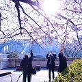 写真: 永代橋の大寒桜 2012  06