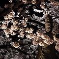 写真: 本誓寺の夜桜 03