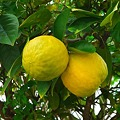 Photos: 大きく育ったレモン