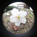 写真: 魚眼 桜