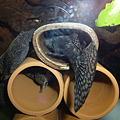 Photos: 20120317 45cmプレコ水槽のミニブッシー