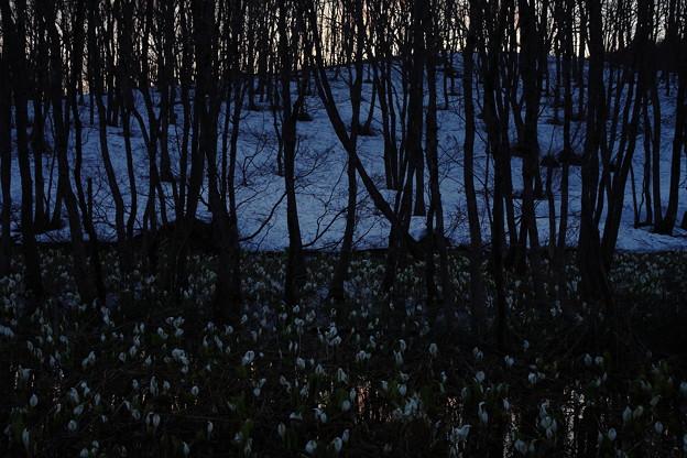 夕暮れ映す水芭蕉の沼