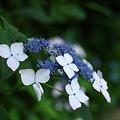明月院の紫陽花その3