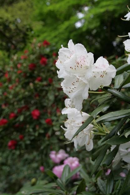 IMG_5454當麻寺・西南院・西南院庭園・石楠花