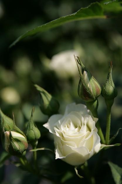 IMG_5973ばら園・薔薇(緑光)