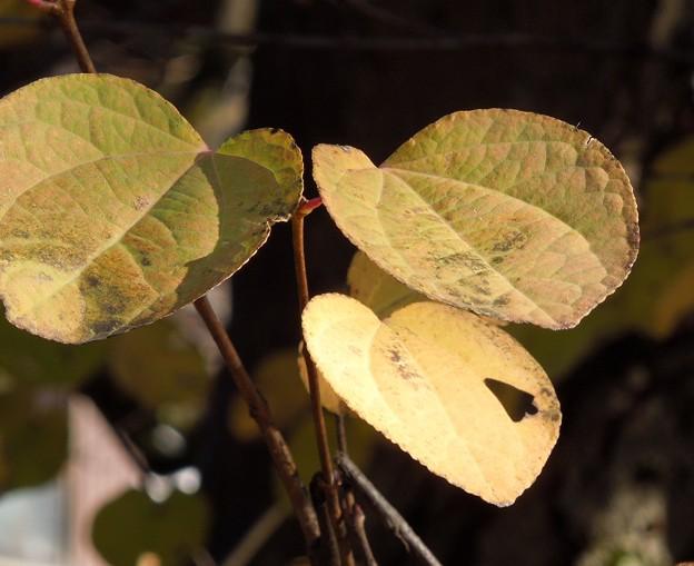 香りほんのり香の葉カツラDSCN0036
