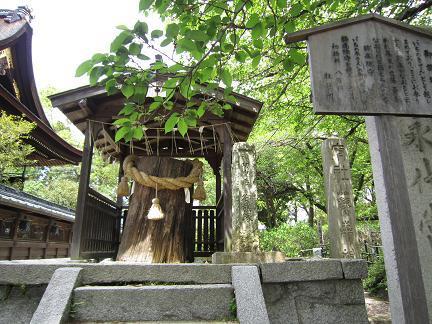藤森神社のイチイの木