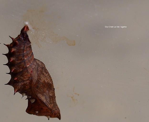 ツマグロヒョウモン蛹。明らかに微妙な状況。