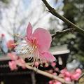 京都で見る梅は・・・