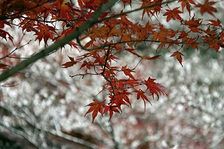 小原の紅葉と四季桜
