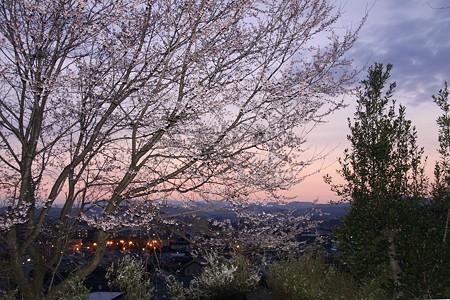 豊田市の曙:染井吉野と雪柳