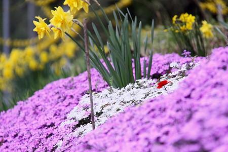 芝桜と水仙