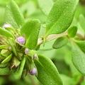 写真: Lemon Thyme