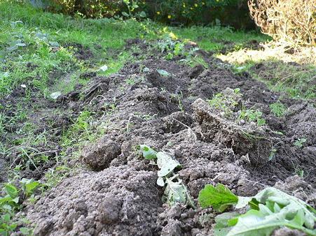 イノシシに掘られた大根のうね