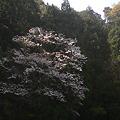 Photos: 山の桜2