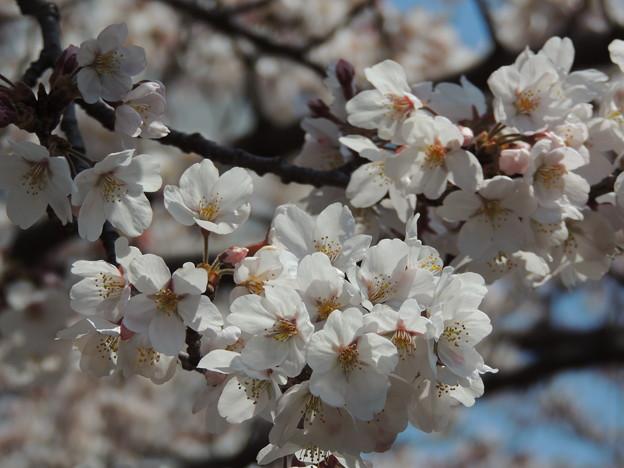 Photos: 桜満開…1