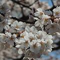 桜満開…1