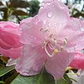 雨の石楠花(しゃくなげ)