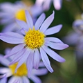 Asters by the Field 9-25-11