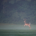 写真: A Buck in the Fog 8-18-11