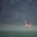 A Buck in the Fog 8-18-11