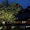 写真: 左近の桜