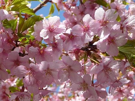 120329-松田山 河津桜 (13)