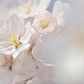 平成24年の桜