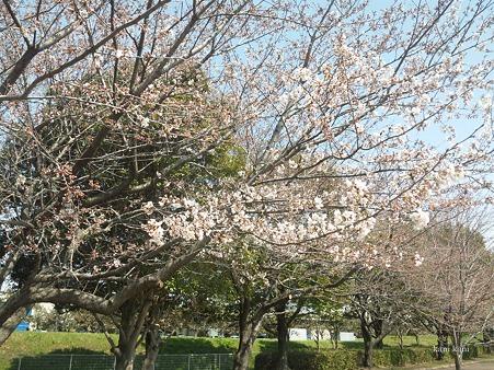 2012/04/5 開花状況