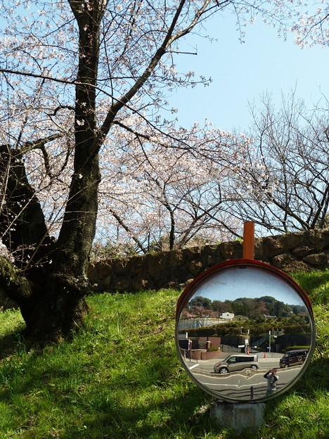 桜の木の下で写真を撮る僕