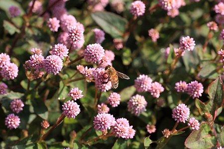 2011.11.04 和泉川 ヒメツルソバにミツバチ