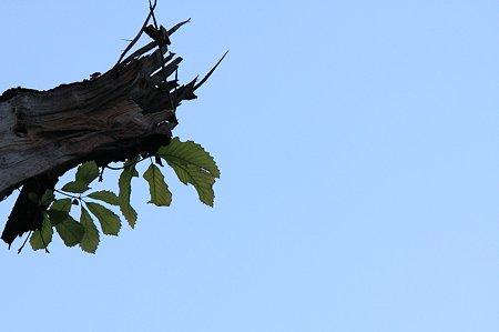 2011.12.28 追分市民の森 コナラ