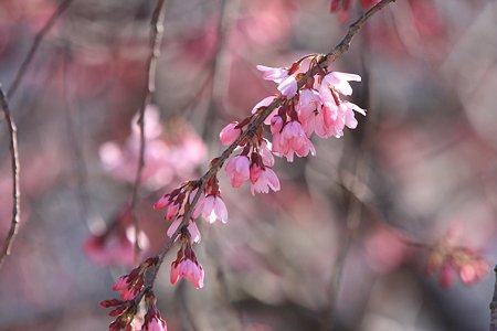 2012.04.04 和泉川 シダレザクラ