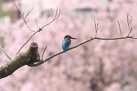2012.04.16 和泉川 カワセミ