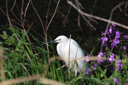 2012.04.24 和泉川 コサギ