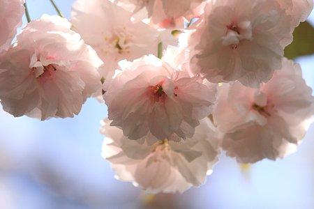 2012.04.29 和泉川 ヤエザクラ 桃色