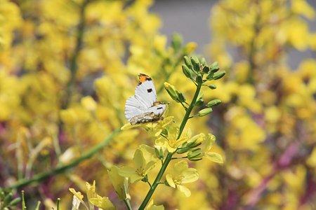 2012.04.29 和泉川 菜の花にツマキチョウ