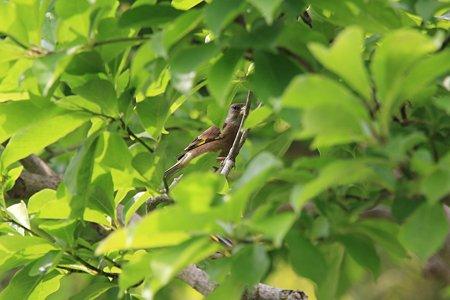 2012.05.21 和泉川 新緑の中にカワラヒワ