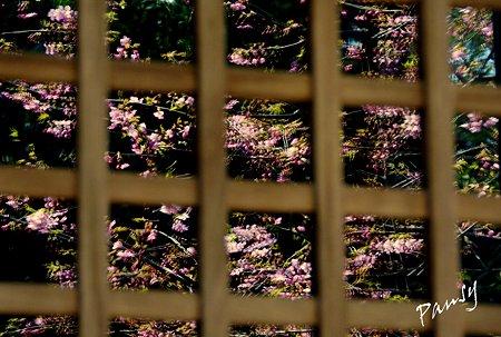 窓に揺れる桜・・円覚寺・・3