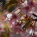 写真: 桜 pink..