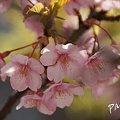 写真: 揺れる・・pink